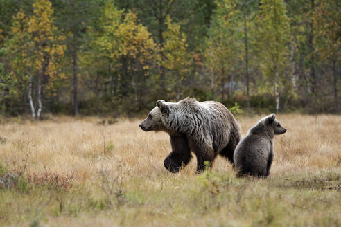 Finland, Kuhmo, Brown bear cub (Ursus arctos) sitting beside mother in autumn taiga - ZCF00878