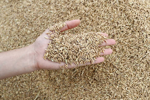 Close-up cropped image of farmer holding rice seeds, after rice harvest, Hoi An, Vietnam, Indochina, Southeast Asia, Asia - RHPLF13410