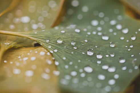 Close up of water droplets on green and yellow leaves on the ground. - CAVF72818