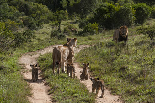 Family of lion (Panthera Leo) and cubs, Kariega Game Reserve, South Africa - ISF23565