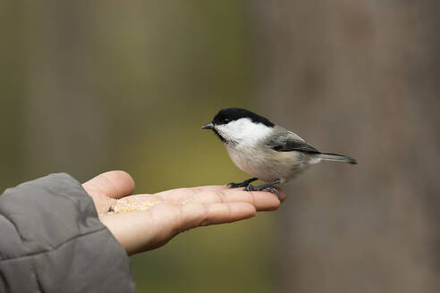 Finland, Kuhmo, North Karelia, Kainuu, Hand with Willow tit (Poecile montanus) - ZCF00884