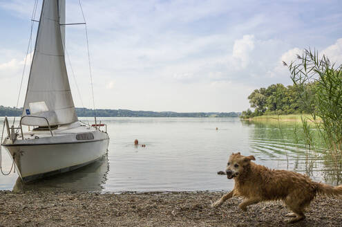 Golden Retriever and sailing boat at lakeside - MAMF01028