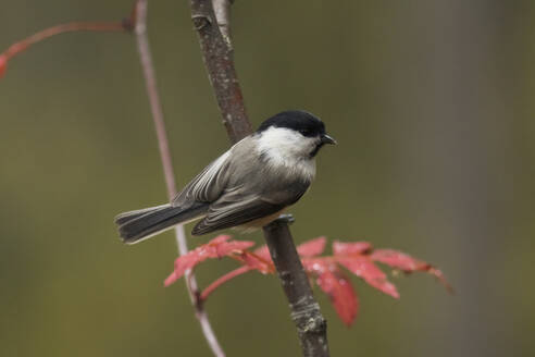 Willow tit, Poecile montanus, perching on a twig - ZCF00895