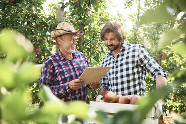 Fruit growers checking quality of apples in their orchard - ABIF01259