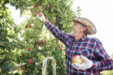 Fruit grower harvesting apples in orchard - ABIF01262