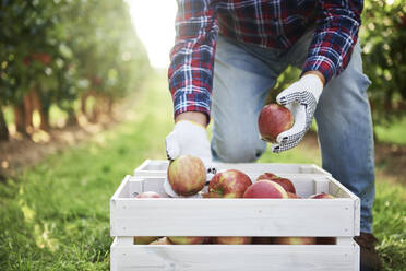 Fruit grower putting harvested apples in crate - ABIF01268