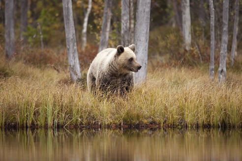Finland, Kainuu, Kuhmo, Brown bear (Ursus arctos) standing on grassy lakeshore in autumn taiga - ZCF00908