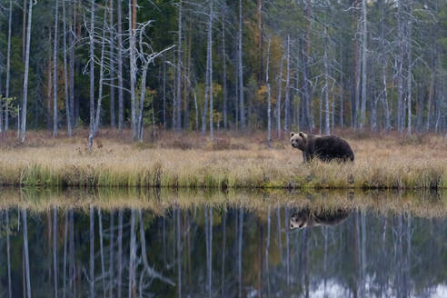 Finland, Kainuu, Kuhmo, Brown bear (Ursus arctos) standing on grassy lakeshore in autumn taiga - ZCF00911