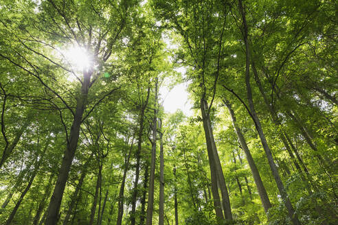 Germany, North Rhine Westfalia, Eifel, Eifel National Park, Low angle view of green beech trees (Fagus) with sunlight - GWF06402
