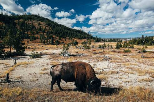 Bison Buffalo Yellowstone National Park Landscape - CAVF73838