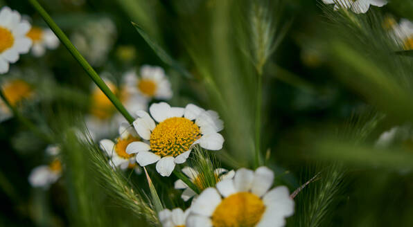 Daisy flowers with their characteristic yellow and white colors among the green grass. macro detail - CAVF74196