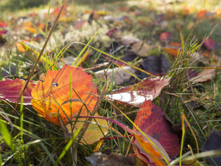 Germany, Bavaria, Autumn leaves lying in grass - HUSF00110