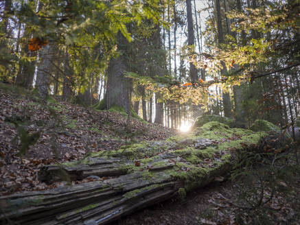 Germany, Bavaria, Setting sun shining through branches over fallen tree lying in autumn forest - HUSF00113