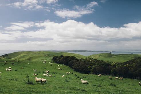 Sheep on meadow - JOHF07419