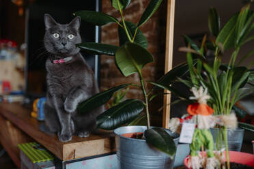 Portrait of Russian Blue sitting on sideboard at home watching something - GEMF03423