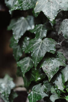 Waterdrops on ivy leaves, close up - AFVF05286