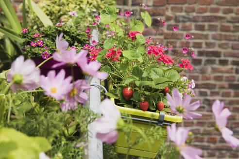 Strawberries and various flowers growing in window box during summer - GWF06450