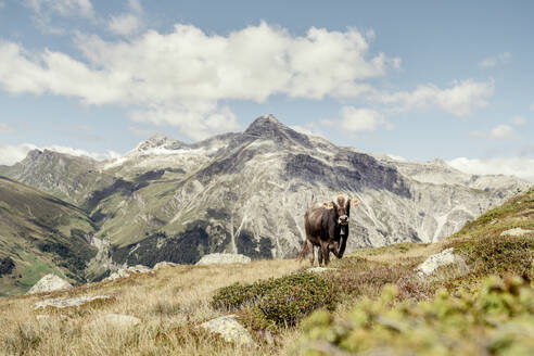 Cow on an Alpine meadow, Graubuenden, Switzerland - HBIF00029