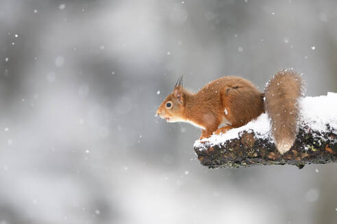 Eurasian red squirrel on snow-covered tree trunk - MJOF01788