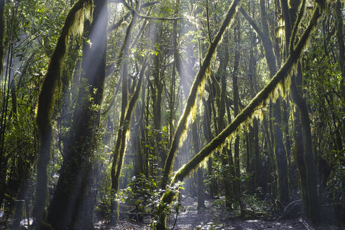 Spain, Province of Santa Cruz de Tenerife, Sunlight piercing branches of forest trees in Garajonay National Park - SIEF09563