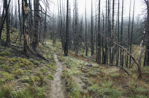 View of the Pacific Crest Trail through wildfire damaged subalpine forest, Mt. Adams Wilderness, Gifford Pinchot National Forest, Washington - MINF13898