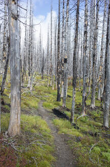 View of the Pacific Crest Trail through wildfire damaged subalpine forest, Mt. Adams Wilderness, Gifford Pinchot National Forest, Washington - MINF13907