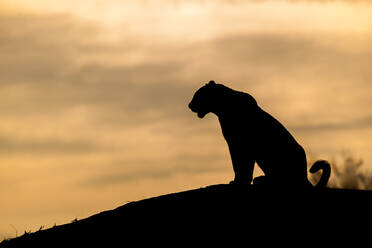 The silhouette of a leopard, Panthera pardus, sitting on a mound, sunset sky - MINF14044