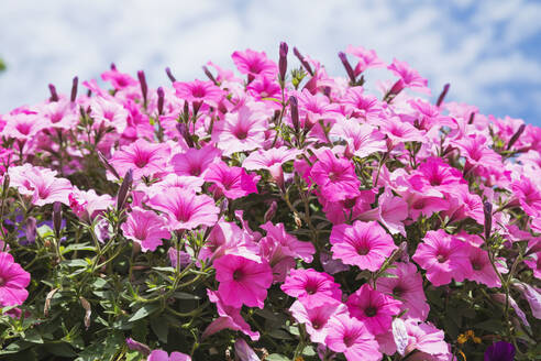 Close-upof pink blooming petunia flowers - GWF06564