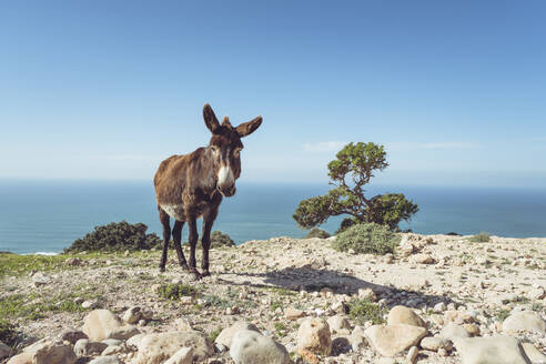 Donkey standing on a cliff against horizon, Essaouira Province, Morocco - HBIF00081