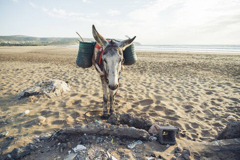 Donkey with baskets on the beach, Tafedna, Morocco - HBIF00084