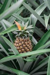Pineapple growing on shrub - AFVF05813