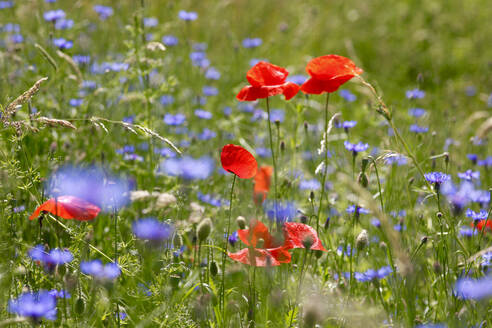Germany, Poppies and blue wildflowers blooming in springtime meadow - JTF01486