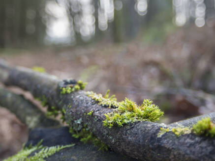 Germany, Bavaria, Mossy tree branches lying inUpper Palatinate Forest - HUSF00117