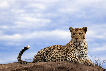 A leopard, Panthera pardus, lies on the top of a termite mound, sky background, looking out of frame - MINF14390