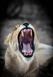 A lioness, Panthera leo, yawns, eyes closed, ears back - MINF14393