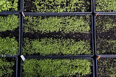 High angle close up of crates with a selection of freshly planted seedlings. - MINF14432