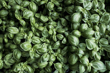 High angle close up of fresh green basil. - MINF14435