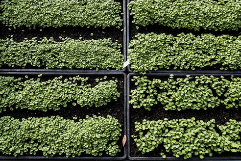 High angle close up of crates with a selection of freshly planted seedlings. - MINF14438