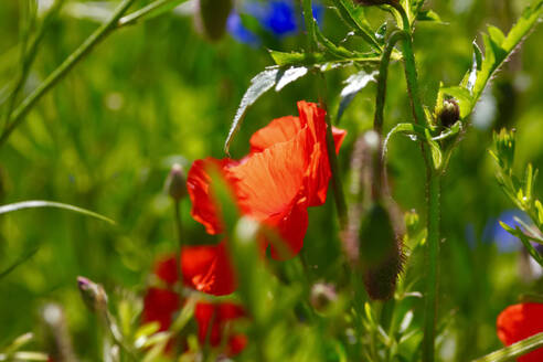 Germany, Close-up of poppy blooming outdoors - JTF01491
