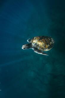 Turtle Swimming In Sea - EYF02188