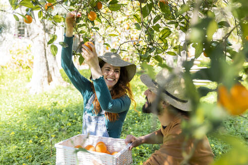 Couple picking organic oranges from a tree in the countryside - VSMF00037