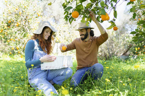 Couple picking organic oranges from a tree in the countryside - VSMF00121