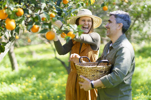 Happy couple picking organic oranges from a tree in the countryside - VSMF00124