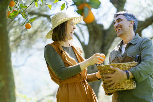 Happy couple picking organic oranges from a tree - VSMF00127