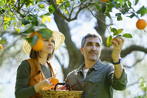 Couple picking organic oranges from a tree - VSMF00130