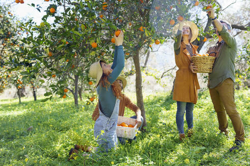Friends picking organic oranges from a tree in the countryside - VSMF00133
