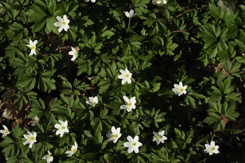 Germany, Wood anemones (Anemone nemorosa) blooming in spring - JTF01528
