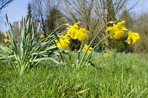 Germany, Wild daffodils (Narcissus pseudonarcissus) blooming in spring - WIF04222