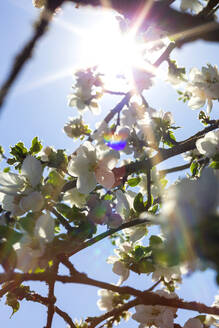 Germany, Branches of blossoming apple tree - NDF01041