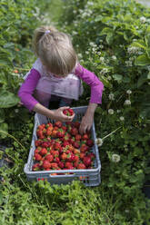 Little girl picking strawberries in a field - PSIF00373